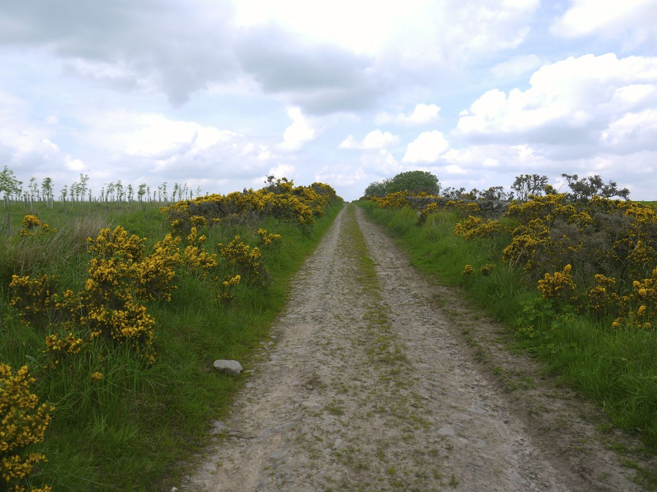 Gorse lined track