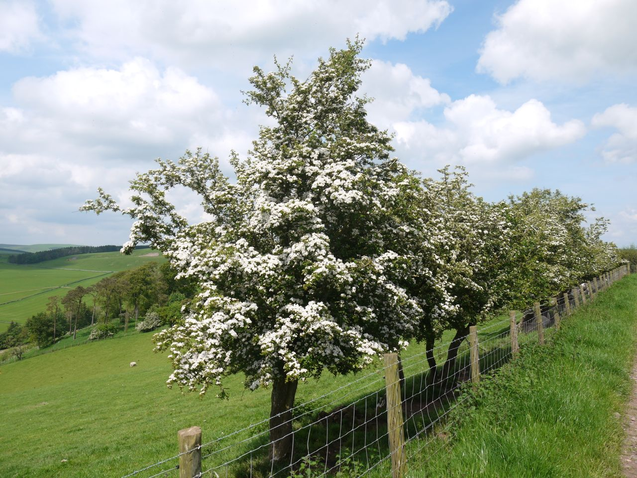 Hawthorn in bloom at Easter Housebyres