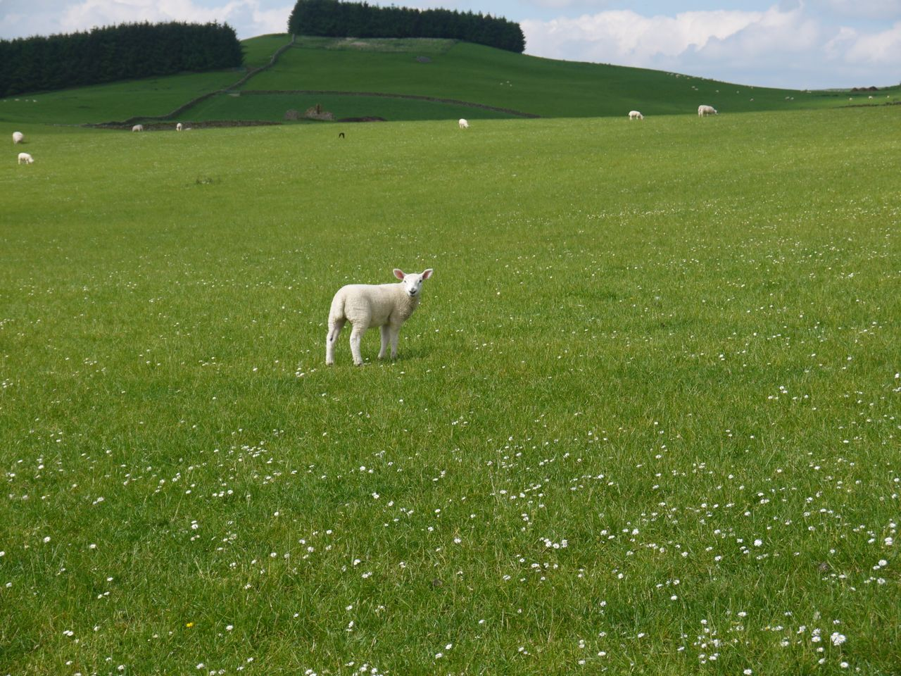 Lamb on Gala Hill