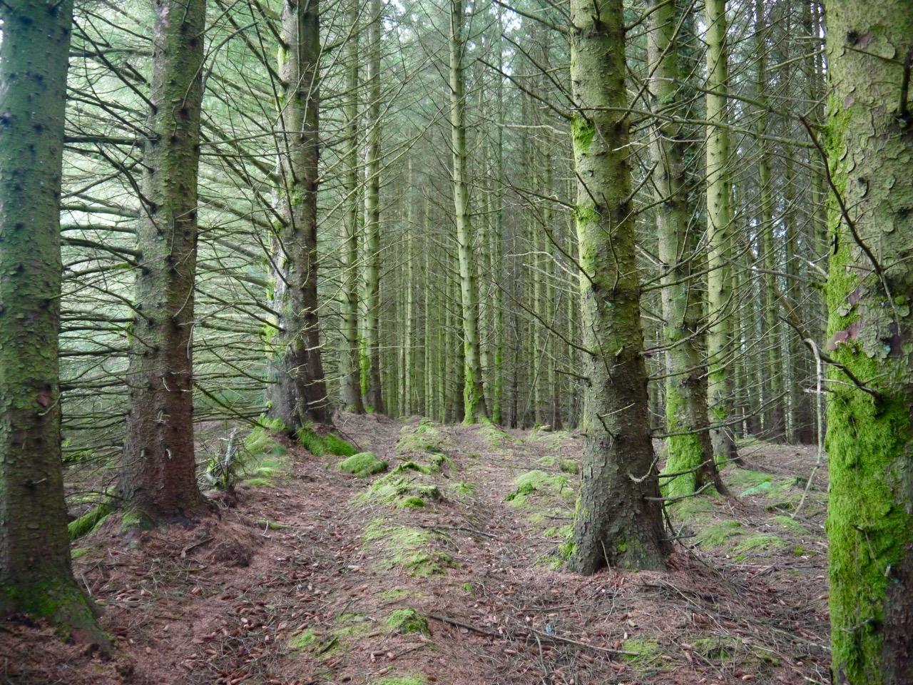 Auchencairn forest