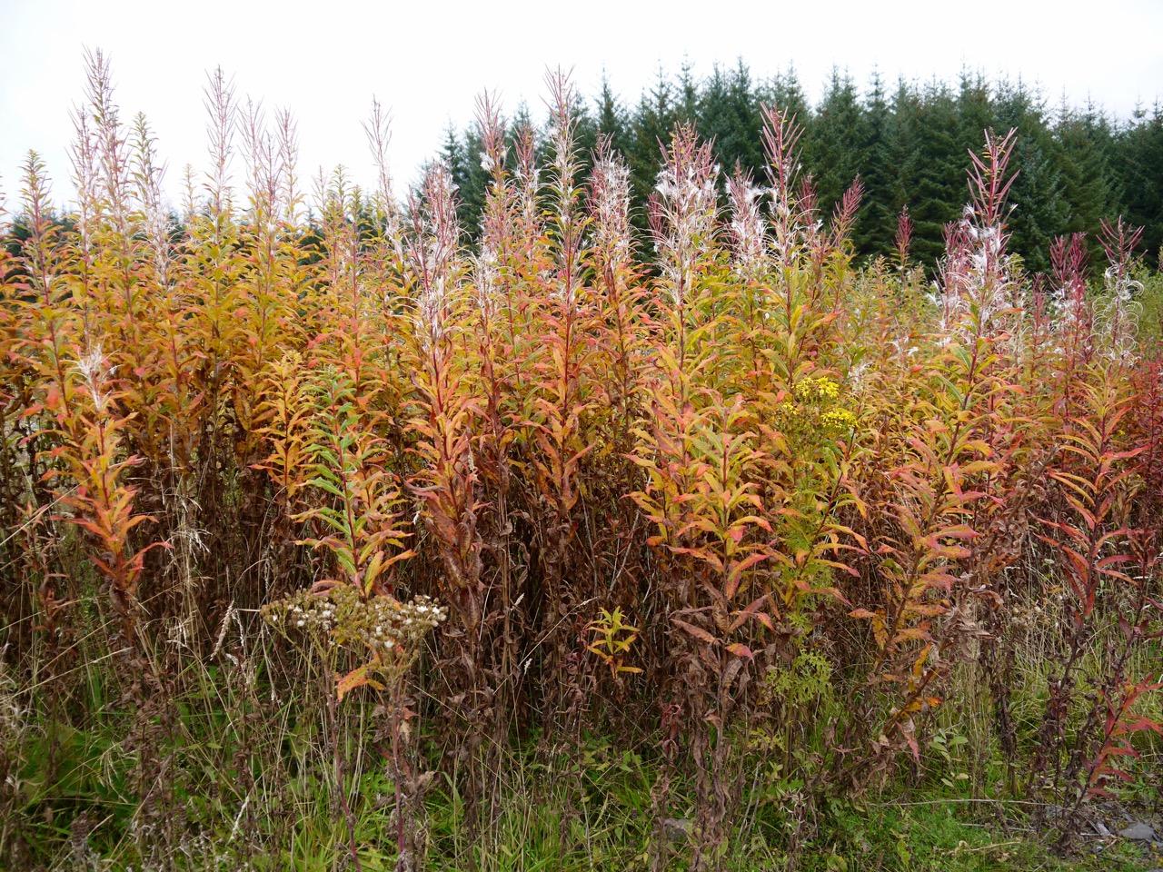 Autumnal colours of Rosebay Willowherb