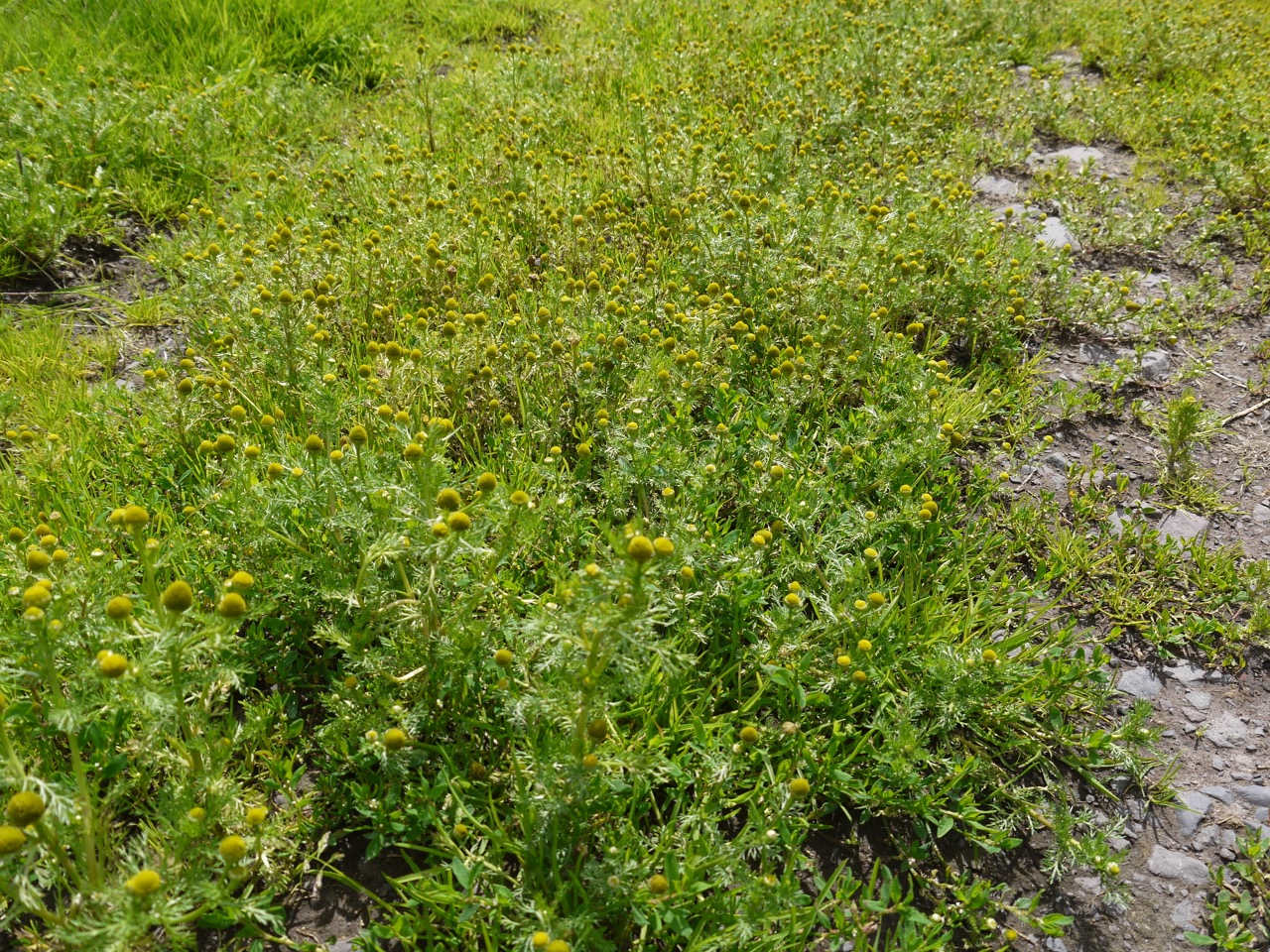 Pineapple weed covered track
