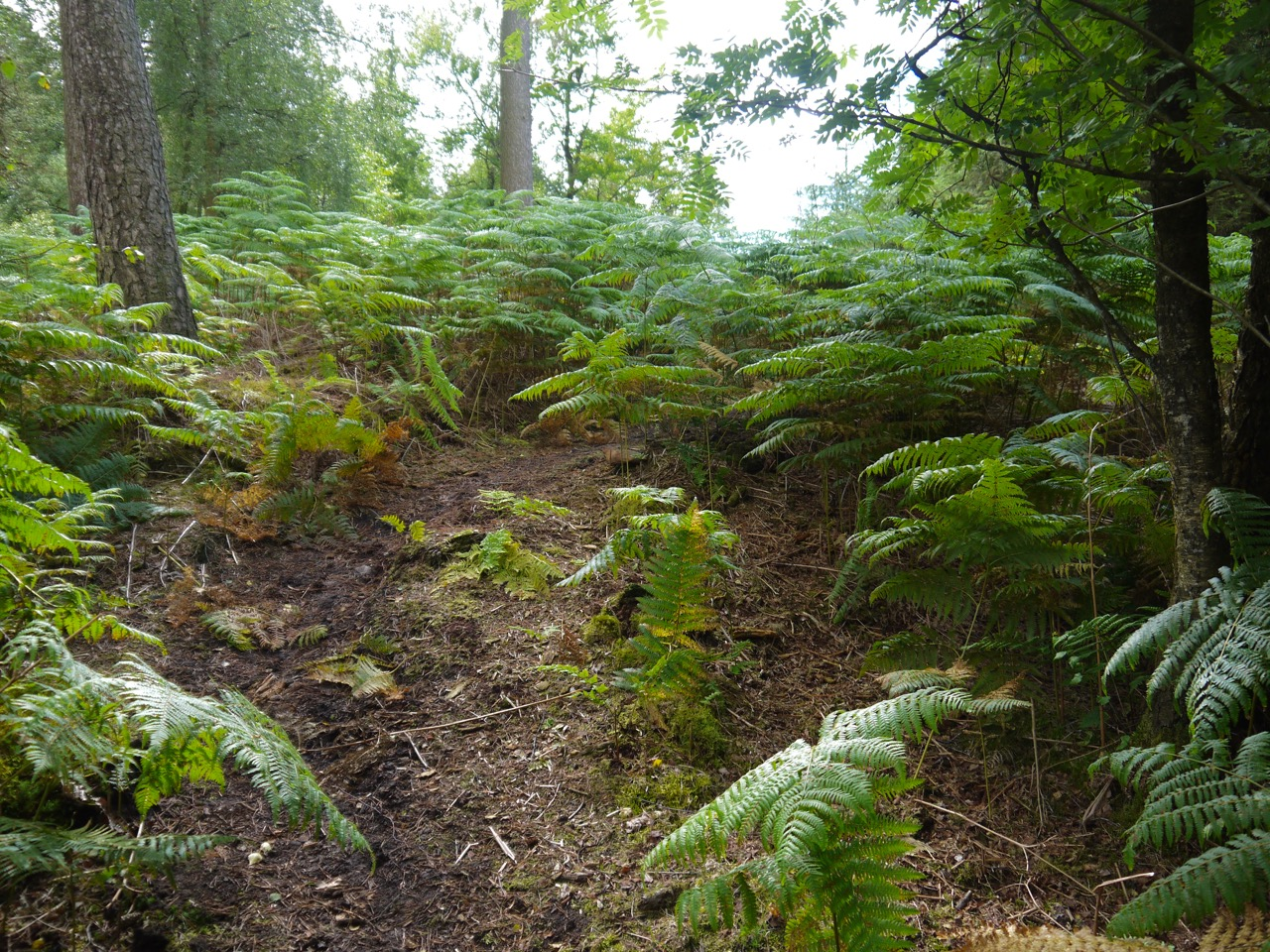 The way into Corncockle Plantation