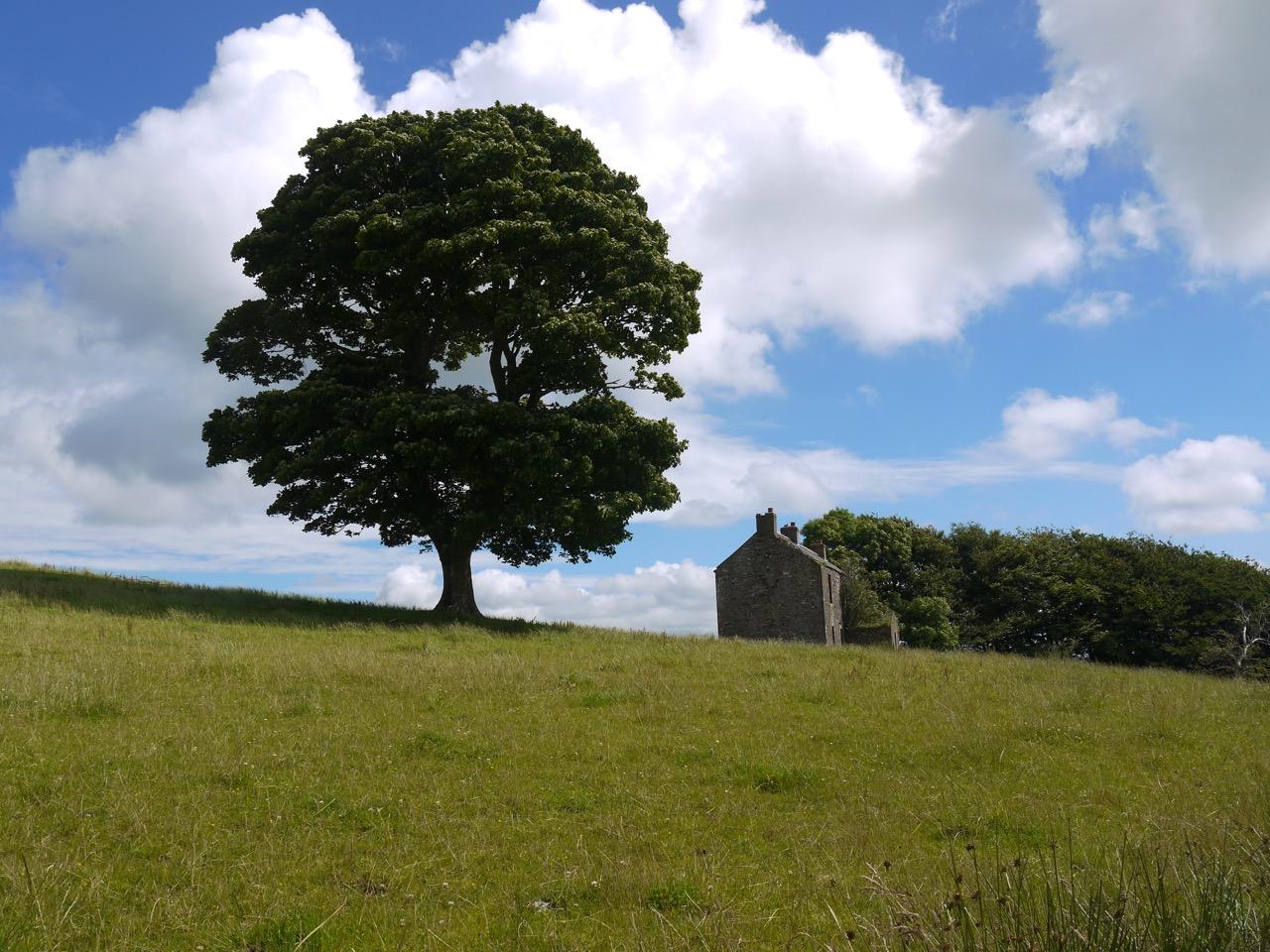 Holmain's Oak