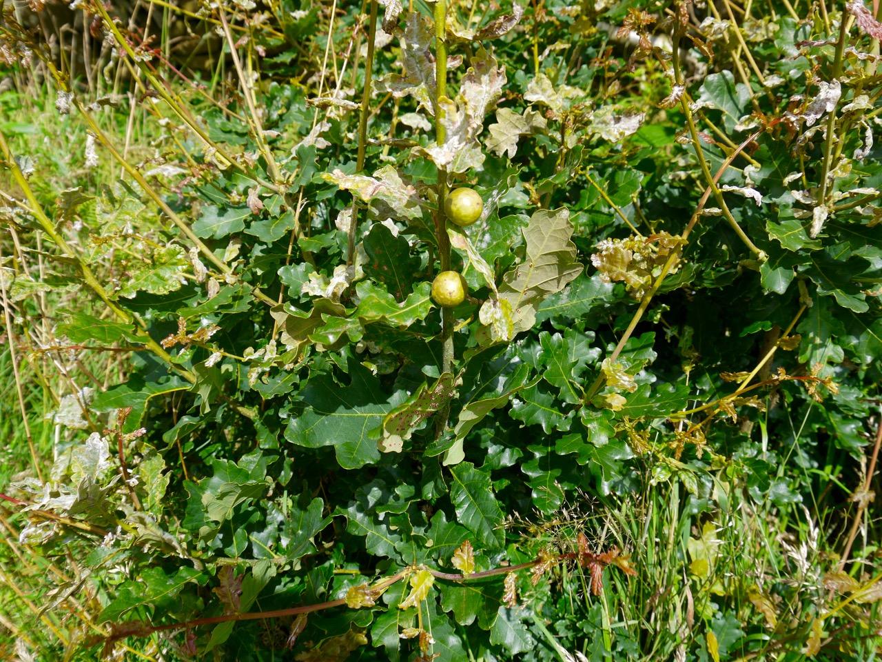 Oak Marbles (wasp larvae)