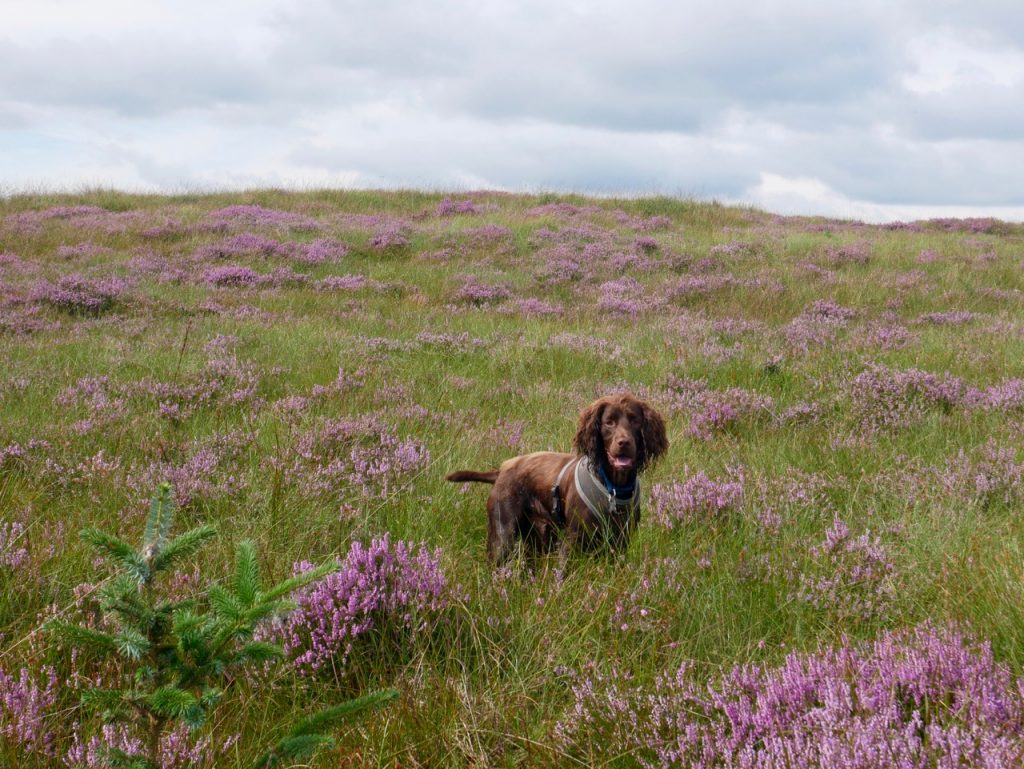 Dog-in-the-heather